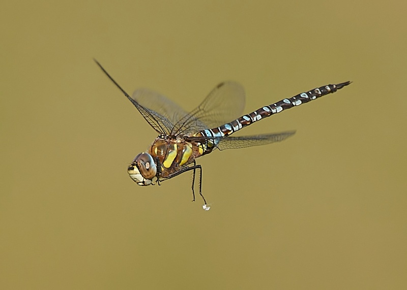 5 - Migrant Hawker Dragonfly