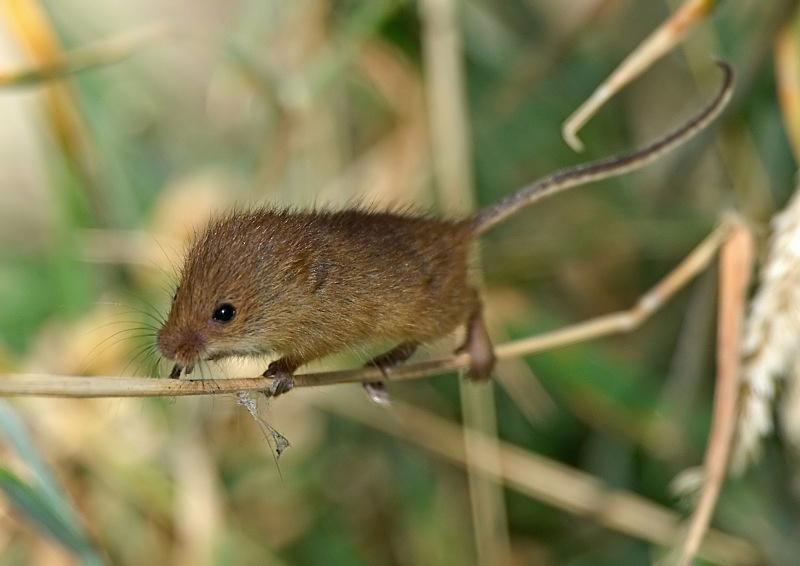 14 - Harvest Mouse