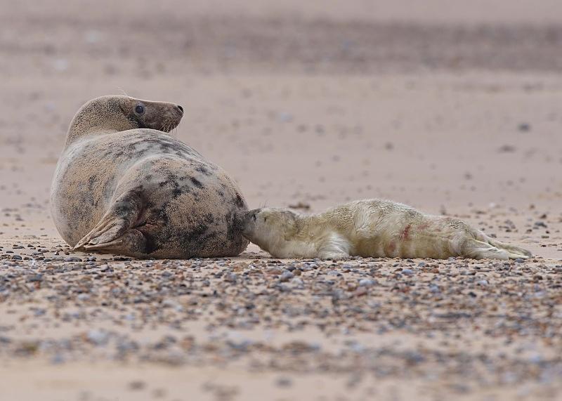 2 - Grey Seal