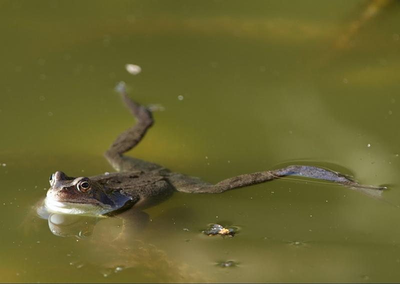 15 - Common Frog