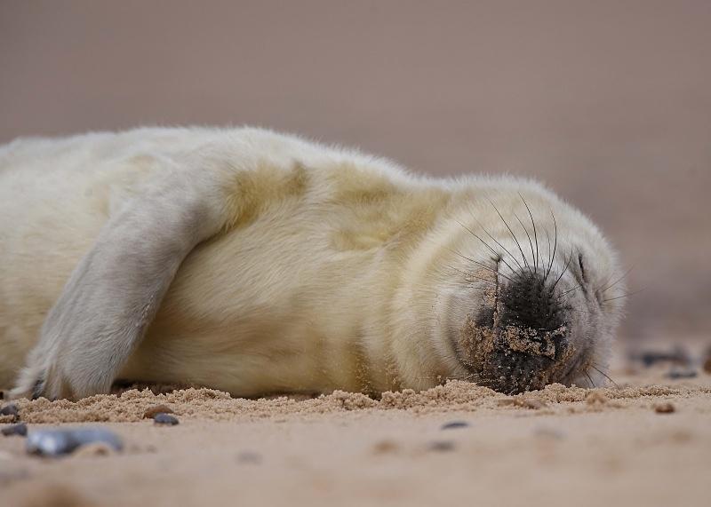 16 - Grey Seal