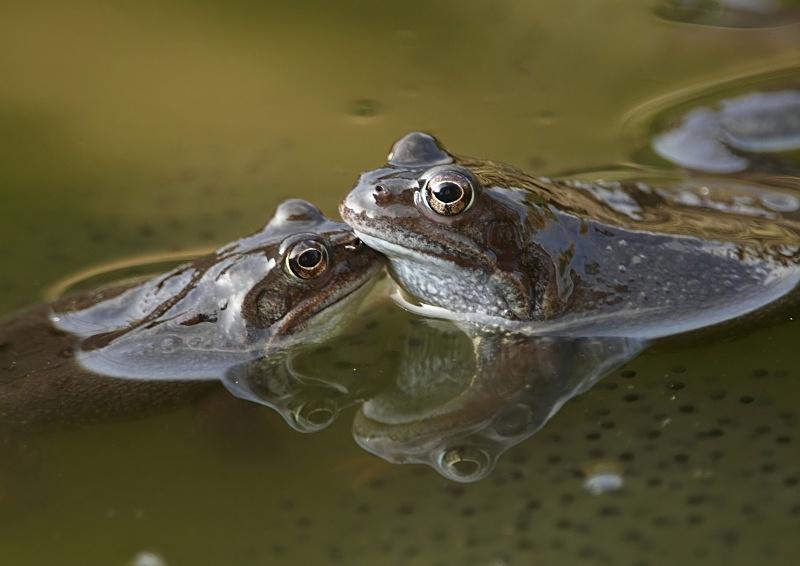 9 - Common Frog