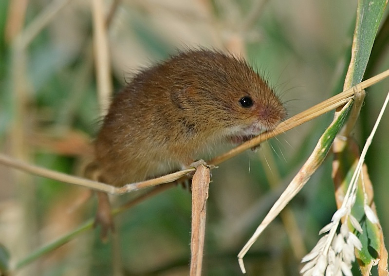6 - Harvest Mouse