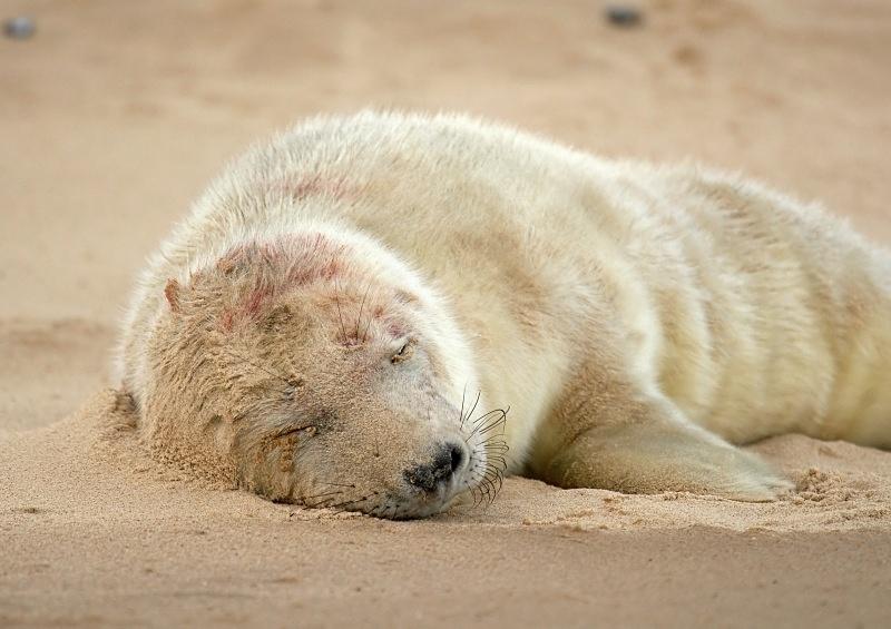 20 - Grey Seal