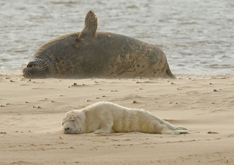 36 - Grey Seal