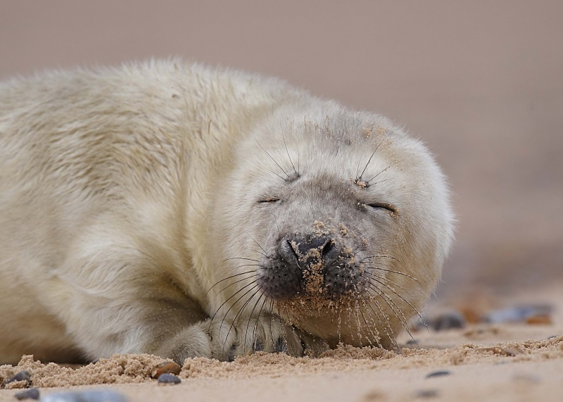 7 - Grey Seal