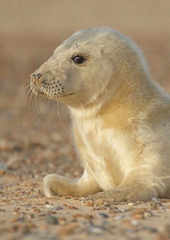 30 - Grey Seal