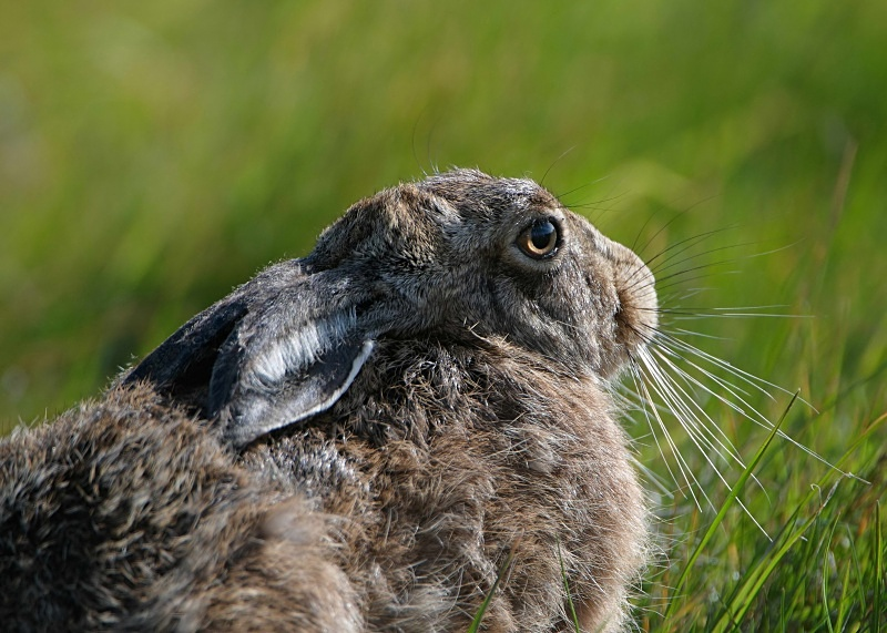 6 - Brown Hare