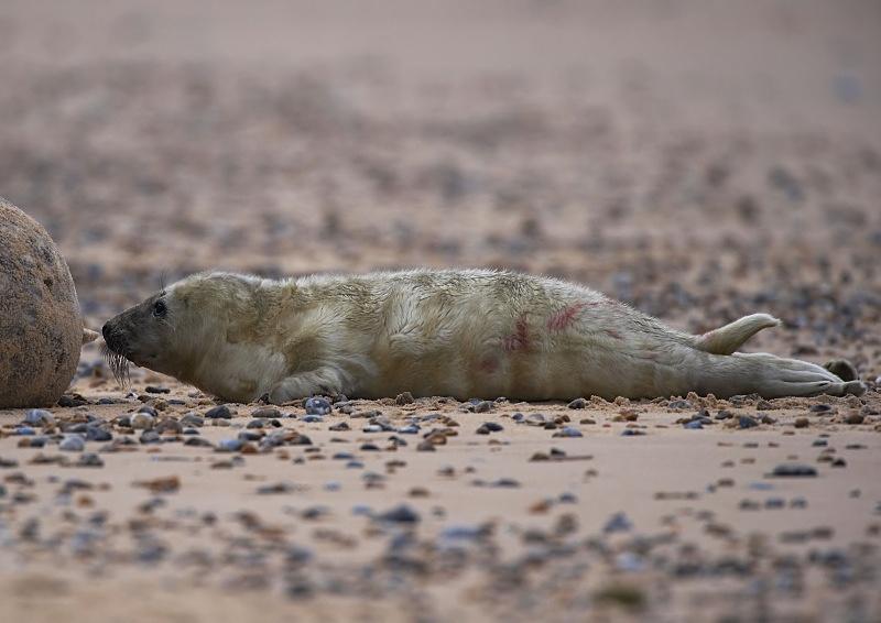 8 - Grey Seal