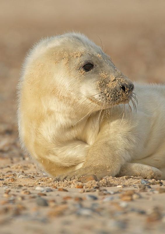 22 - Grey Seal