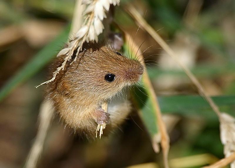 2 - Harvest Mouse