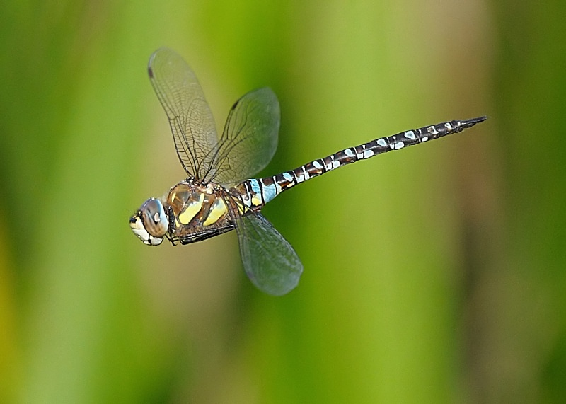 10 - Migrant Hawker Dragonfly