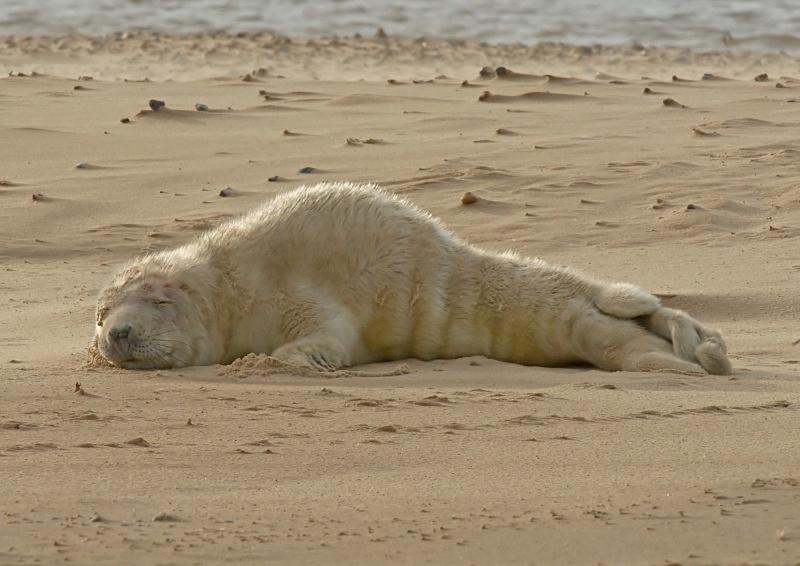 35 - Grey Seal