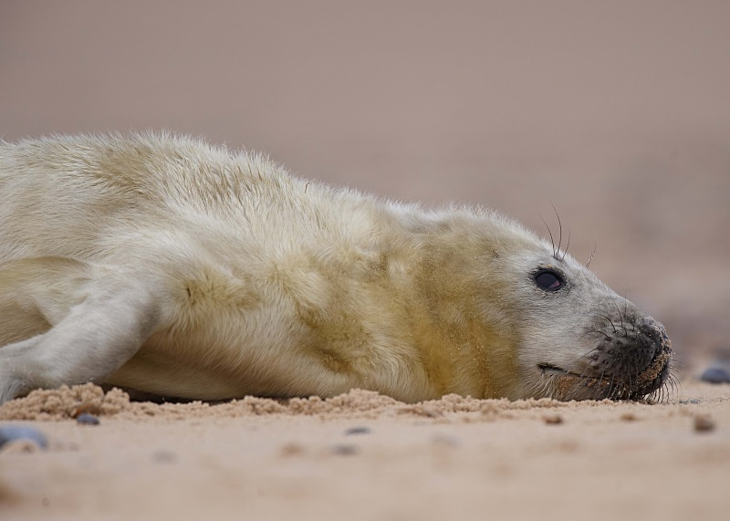 17 - Grey Seal