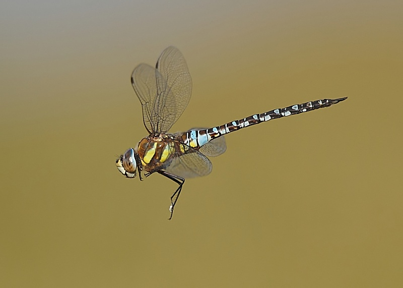 6 - Migrant Hawker Dragonfly