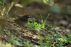 Cabanis's Ground-Sparrow, Costa Rica