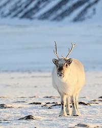 Reindeer (adult) front, Svalbard, Norway