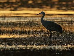 Sandhill Crane at South Pond, Bosque del Apache, New Mexico