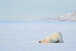 Polar Bear (male) rolling in snow on frozen fjord, Svalbard, Norway