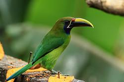Northern Emerald Toucanet at feeder, Buena Vista, Costa Rica