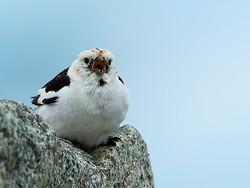 Snow Bunting singing, close front view, Jokulsarlon, Iceland
