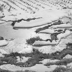 Rice Fields in Winter portfolio