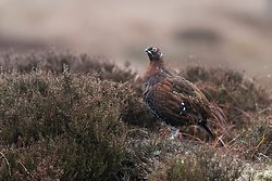Red Grouse Jan 2018
