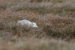 Mountain Hare Jan 2018