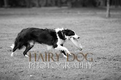 Tilly the Collie portfolio