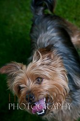 Tilly the Yorkshire Terrier portfolio