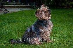 Tilly the Yorkshire Terrier portfolio