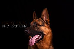 German Shepherd Show, 26th October '13 portfolio