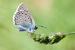 Large Blue - Phengaris arion