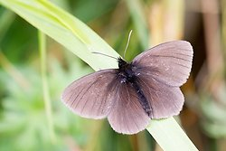 Yellow spotted Ringlet ssp manto