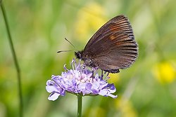 Yellow Spotted ringlet ssp constans