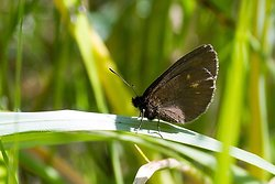 Yellow Spotted Ringlet - Erebia mantra