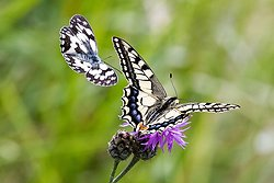Swallowtail and Marbled White
