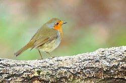 Robin on a Frosty log