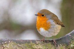 Robin at Attenborough