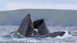 Double Humpbacks