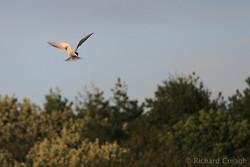 Corrib Tern