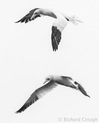 Gannets on White