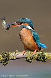 Kingfishers portfolio