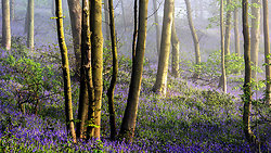 Bluebells in the hazy sunshine
