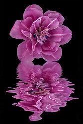 Purple Double Tulip