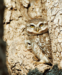 Owl couple Chatra Sagar