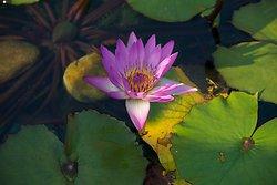 KM-375 Chi Lin Nunnery lotus