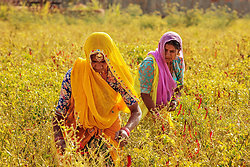 Chillie pickers - Chatra Sagar, Rajasthan India