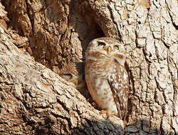 Pair of owls Chatra Sagar
