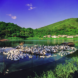 KM-207 Duck farm at Nam Chung Lei Uk - 1992